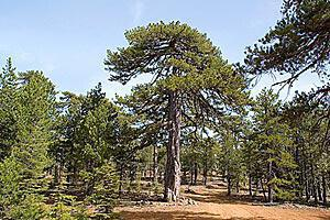 Troodos Forest and Surrounding Communities – Provinces Limassol and Nicosia