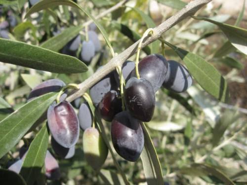 Kypriaki Epitrapezia Elia – Cyprus Table Olive