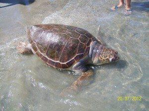 Νεκρή Χελώνα Καρέτα – Καρέτα στην παραλία Μακένζυ