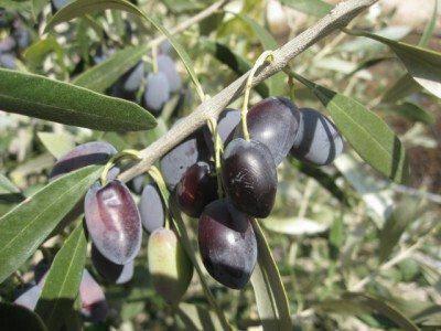 Κυπριακή επιτραπέζια ελιά