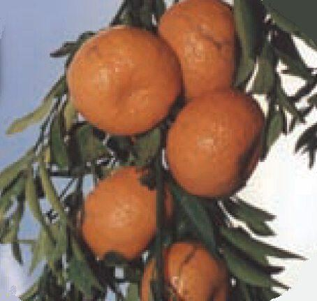 Μανταρίνια Αρακαπά